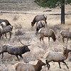 Bull Elk chasing away a young bull