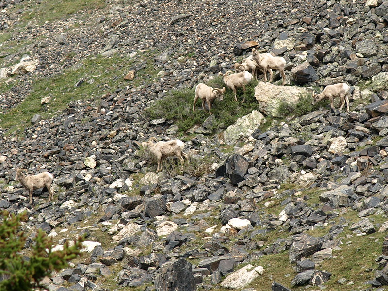 Big Horn Sheep Traversing the Mountain (IV)