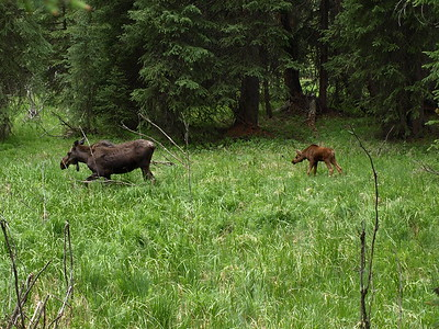 Mamma Moose and Calf Passing Through (III)