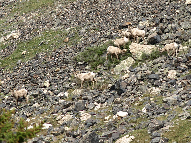 Big Horn Sheep Traversing the Mountain (III)