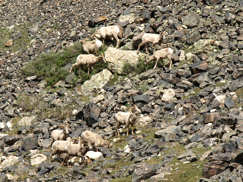 Big Horn Sheep Traversing the Mountain (II)
