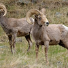 Big-horned Sheep