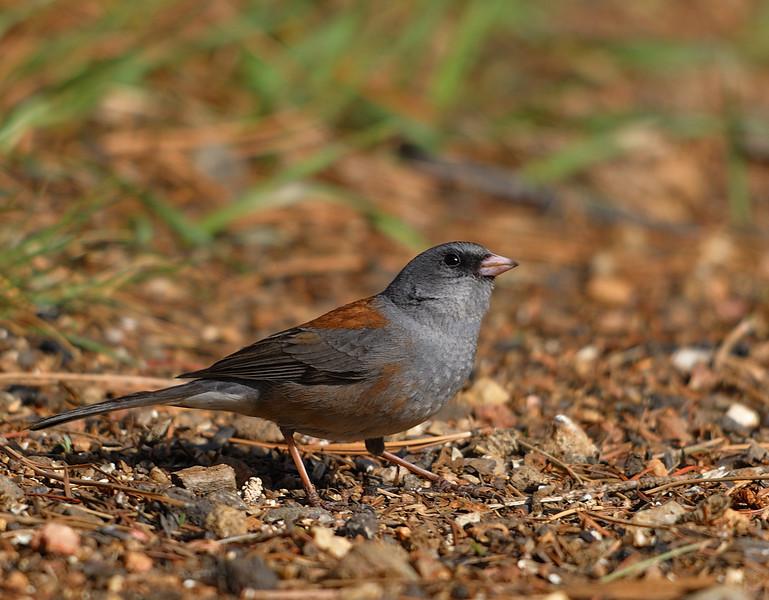 Dark-eyed Junco (Gray-headed Population)