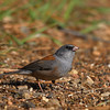 Dark-eyed Junco (Gray-headed Population)