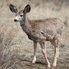 Mule Deer (Immature)