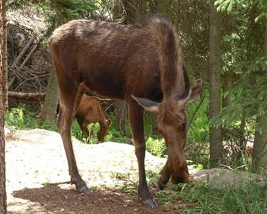 Mamma Moose & Calf