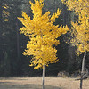 Aspen Tree in fall colors