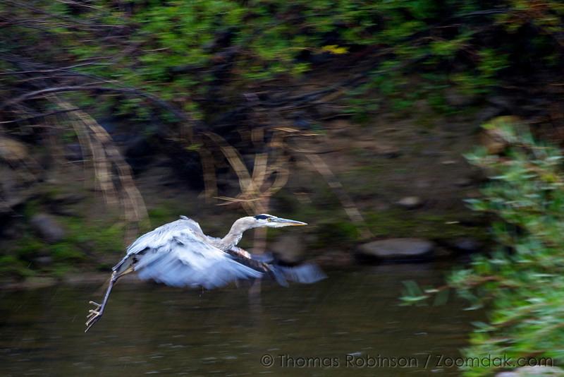 A Great Blue Heron (Ardea herodias) flies through the rain along the Blue River in Colorado.