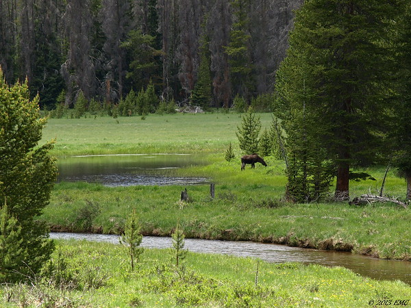 Moose in the Watershed