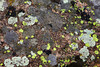 A variety of Lichens create amazing texture upon the rocks of Rocky Mountain National Park. Here at Tahosa one can see a mix of green lichen (Acarospora) and white lichen (Lecidea tessellata).