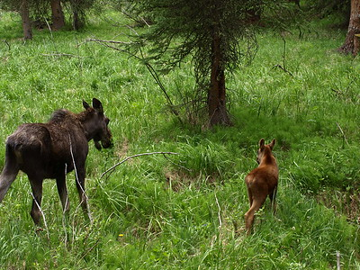 Momma Moose & Calf Passing Through (II)