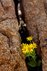 A stock of soft arnica (Arnica mollis) grows between two hard rocks. This yellow wildflower grow from July to September at about 10,000ft.