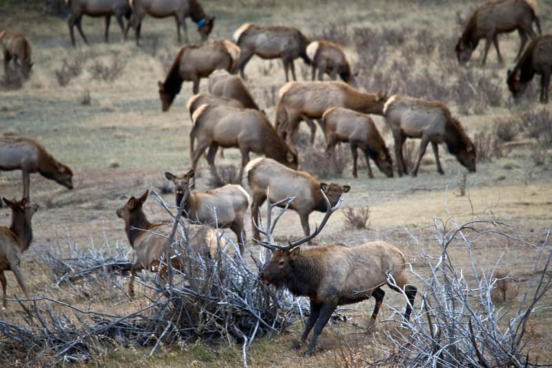 Bull Elk chasing away other bulls