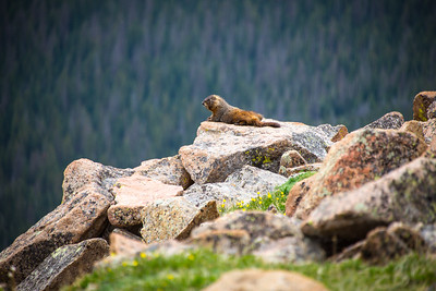 Marmot along the Trail Ridge Road, Rocky Mountain National Park, Colorado, June 2016.