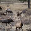 Bull Elk chasing away a younger Bull