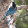 Steller's Jay