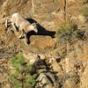 Big-horned Sheep