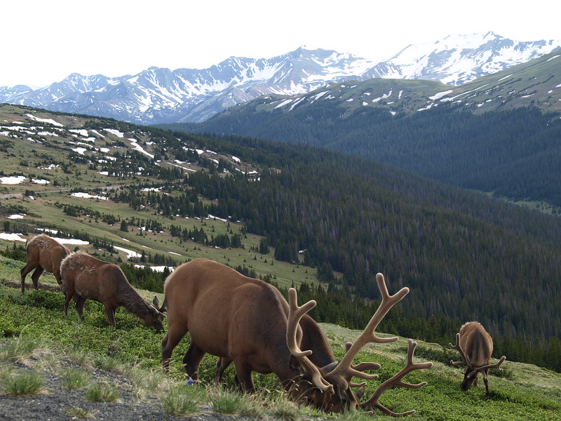 Elks in the Alpine (II)