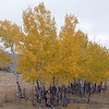 Aspen Trees in fall colors