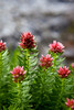 A bunch of Queen's Crown (Sedum rhodanthum) tower along the edge of Bluebird Lake at 11,000ft in Rocky Mountain National Park. Also known as Rose Crown, this wildflower is commonly be found damp mountain meadows.