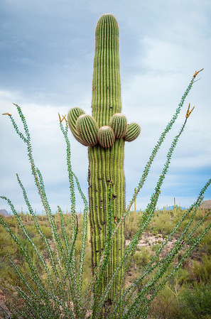 Small Cactus with Little Branches at Saguaro National Park