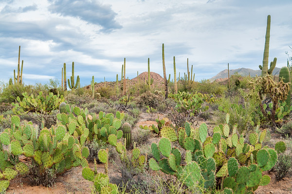 The Famous Cactuses of Saguaro National Park