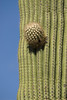 A Saguaro Cactus starts growing in another direction.