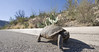 "This Desert Tortoise puts new meaning to the term ""slow lane"".  He was walking against traffic along the curb so after I took a few pictures of him on the road, I moved him off the road so he would not be run over."