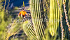 Saguaro National Park - C2-0020 - 72 ppi-3
