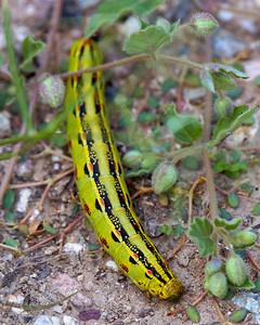 Desert Caterpillar