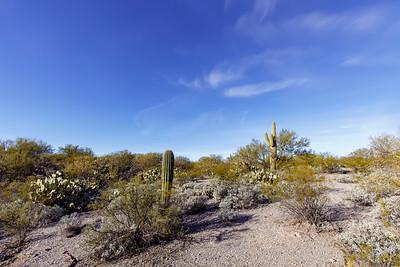 Saguaro Cactus Pretends To Conduct Orchestra