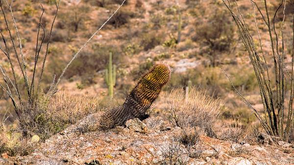 Baking a Barrel Cactus