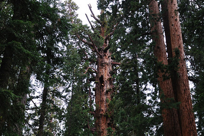 General Sherman - the largest tree by volume on Earth