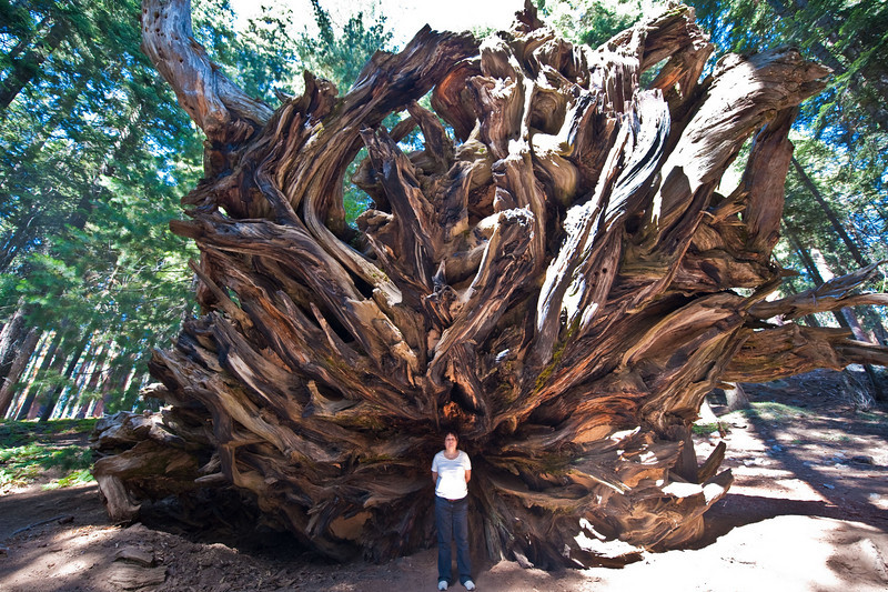 Root Structure of a fallen Giant Redwood Tree