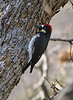 Acorn Woodpecker-Male