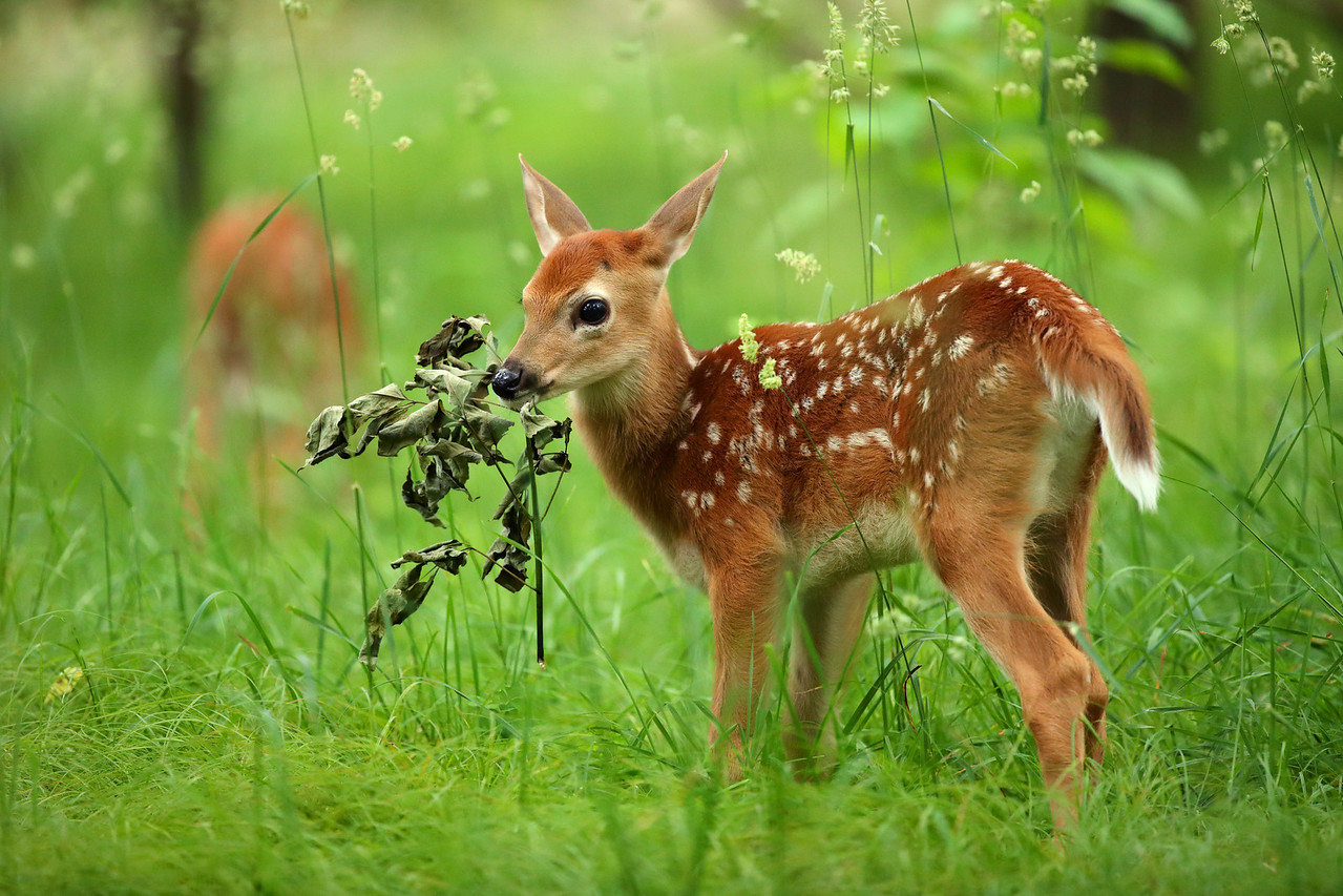 White-tailed Deer Fawn holding Branch, Shenandoah National Park