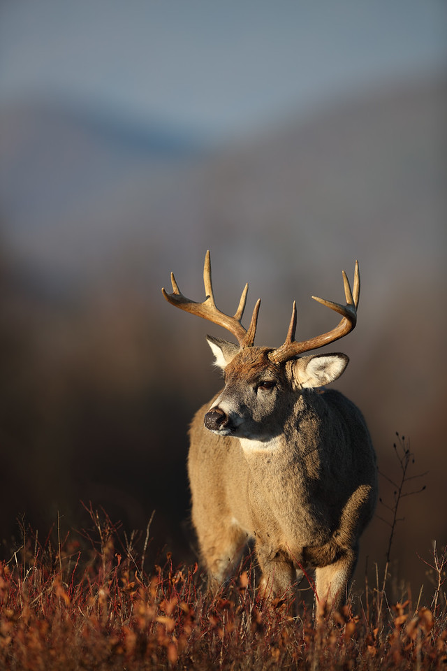First-Light Buck, Shenandoah National Park