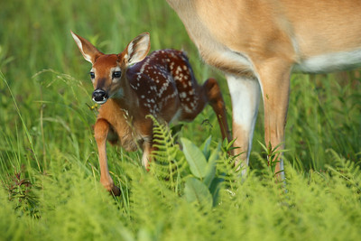 High-Stepping Fawn in the Meadow, Shenandoah National Park
