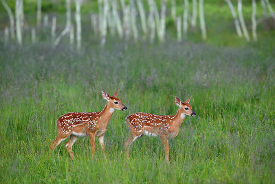 White-tailed Deer Fawns in Big Meadows, Shenandoah National Park