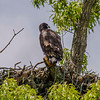 A juvenile bald eagle.  This nest could be seen from the auto tour road between stops 1 and 2.