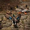 Colored version of Mallard is leaving a stream (river) running along the sidewalks of Gatlinburg. (Move your cursor over the right side of the picture and click on Photo Info for details of this shot.)