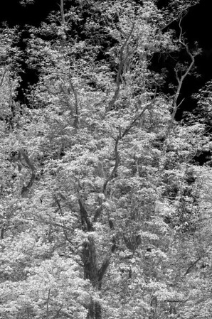 A tree in Cades Cove processed as an infra-red.