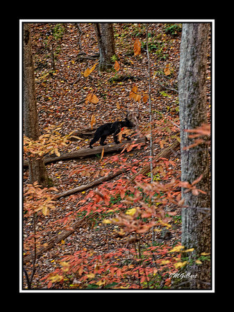 NJG3469:  Still on the trail to Laurel Falls I noticed something from my peripheral vision to my left only to see this young Black Bear walking along with us.  I learned a lesson here.  When hiking always have your camera in shutter priority, speed set for speed and let the camera set the aperture and ISO.  We stopped but he continued ahead of us and was about to get on the path when we notice some hikers coming around a corner and could have startled him.  We flagged them down and began making a lot of noise so that he would leave and he did to my disappointment.