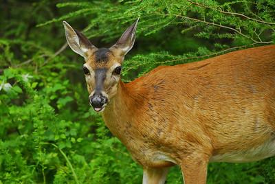 Whitetailed deer, doe   Camera: Nikon D200, Nikon Nikkor AF-S 300mm ED f4 ISO at 400, Aperture Priority, Auto-focus