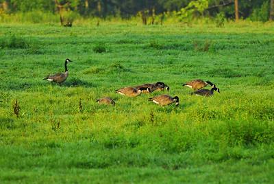 Canada geese  Camera: Nikon D200, Nikon Nikkor AF-S 300mm ED f4 ISO at 400, Aperture Priority, Auto-focus