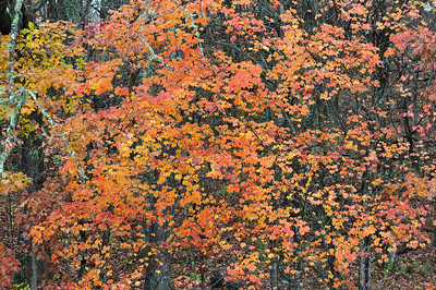 A wall of coloful leaves on the Blue Ridge Parkway