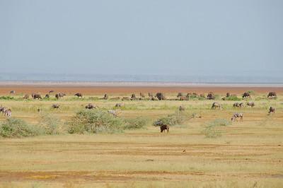 1: Buffalo, Zebra, Warthog, Wildebeest & Flamingo at Lake Manyara