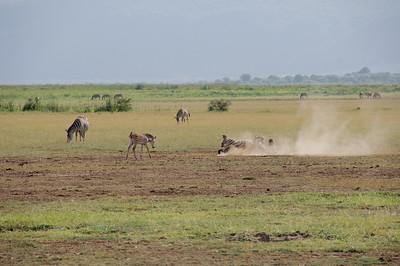 Equus quagga