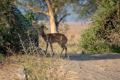 There was another car at the Mikumi Hippo Pool. We're sure that they didn't even see this beautiful Bushbuck behind their vehicle!