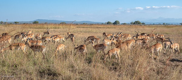When we just entered Mikumi we encountered this big herd of Impala (with warthogs) and on the other site Zebra's and even a wildebeast.